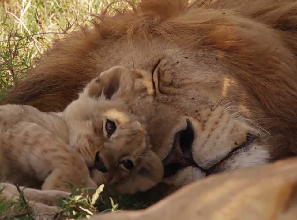 Orphaned Lion Cub Was In Need Of A Mom, See Who Decided To Adopt Him